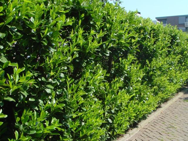 Plantas flores y jardin laurus nobilis laurel o lauro for Arbustos de jardin nombres