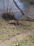 Ciervo muerto en El Bosque